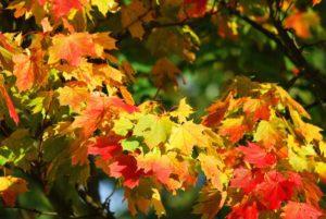 tree images maple tree
