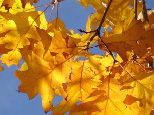 red oak tree leaves