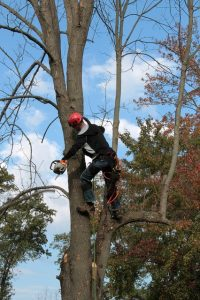 trimming tall tree