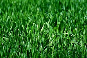 thick healthy green grass